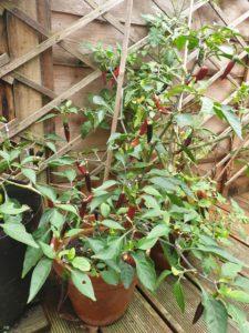 A chili plant in a garden